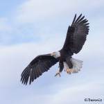 5243 Bald Eagle, Homer, Alaska