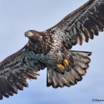 5250 Juvenile Bald Eagle, Homer, Alaska