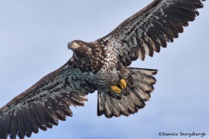 5250 Juvenile Bald Eagle, Homer, Alaska