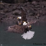 5257 Aggressive Bald Eagles, Homer, Alaska