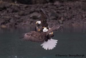5257 Aggressive Bald Eagles, Homer, Alaska