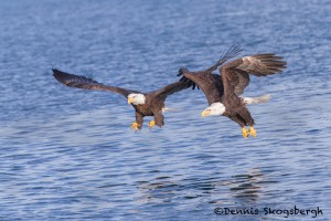 5259 Bald Eagles, Homer, Alaska