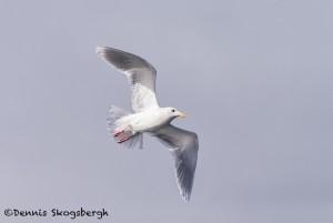 5260 Glaucous-winged Gull (Larus glaucescens), Homer, Alaska