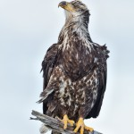 5261 Juvenile Bald Eagle, Homer, Alaska