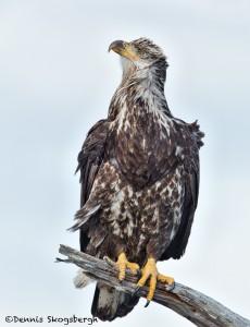 5261 Juvenile Bald Eagle, Homer, Alaska