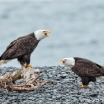 5262 Bald Eagles, Homer, Alaska
