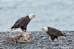 5262 Bald Eagles, Homer, Alaska