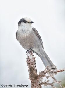 5264 Gray Jay (Perisoreus canadensis), Homer, Alaska