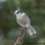 5266 Gray Jay (Perisoreus canadensis), Homer, Alaska