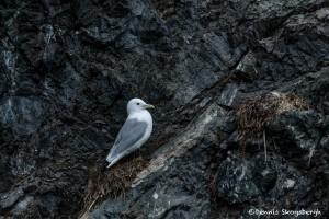 5269 Nested Kittiwake (Rissa tridactyla), Homer, Alaska