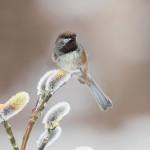 5272 Boreal Chickadee (Poecile hudsonicus), Homer, Alaska