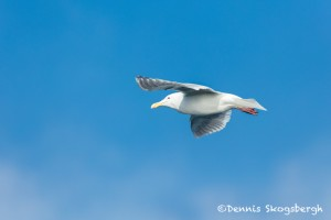 5276 Glaucous-winged Gull (Larus glaucescens), Homer, Alaska