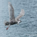 5277 Glaucous-winged Gull (Larus glaucescens), Homer, Alaska
