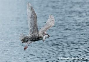 5277 Glaucous-winged Gull (Larus glaucescens), Homer, Alaska