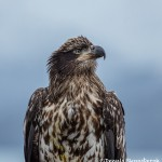 5279 Juvenile Bald Eagle, Homer, Alaska