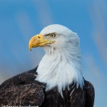 5282 Bald Eagle, Homer, Alaska