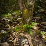 5314 Tree, Sam's Creek, Spring, Great Smoky Mountains National Park, TN