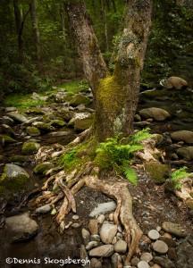 5314 Tree, Sam's Creek, Spring, Great Smoky Mountains National Park, TN