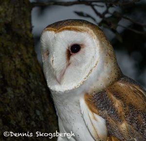 5352 Barn Owl (Tyto alba)