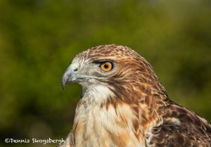 5353 Red-tailed Hawk (Buteo jamaicensis)
