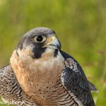 5354 Peregrine Falcon (Falco peregrinus)