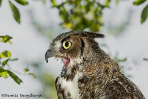 5355 Great Horned Owl (Bubo virginianus)