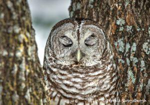5357 Barred Owl (Strix varia)
