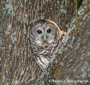 5358 Barred Owl (Strix varia)