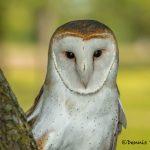 5359 Barn Owl (Tyto alba)