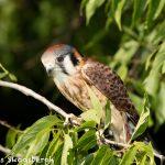 5360 American Kestrel (Falco sparverius)