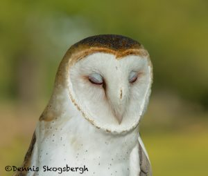 5361 Barn Owl (Tyto alba)