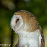 5362 Barn Owl (Tyto alba)