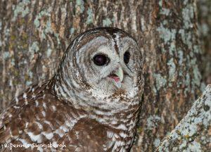 5363 Barred Owl (Strix varia)