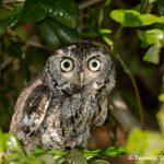 5364 Eastern Screech Owl (Megascops asia)