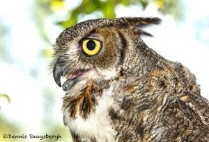 5365 Great Horned Owl (Bubo virginianus)