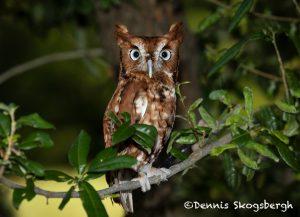 5366 Eastern Screech Owl (Megascops asia)
