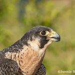5367 Peregrine Falcon (Falco peregrinus)
