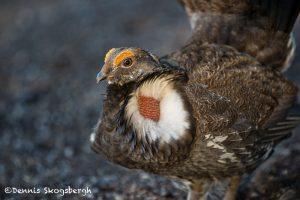 5386 Dusky Grouse (Dendragapus obscurus), Grand Teton National Park, WY