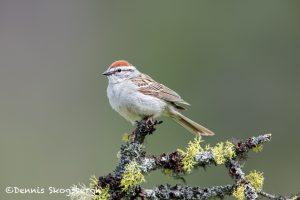 5415 Chipping Sparrow (Spizella passerina), Kamloops, BC