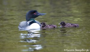 5417 Common Loon (Gavia immer) and Chicks, Lac Le Jeune, BC