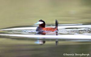 5420 Ruddy Duck (Oxyura jamaicensis), Kamloops, BC