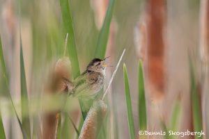 5421 Marsh Wren (Cistothorus palustris), Lac Le Jeune, BC