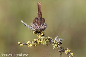 5423 Song Sparrow (Melospiza melodia), Lac Le Jeune, BC