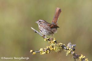 5424 Song Sparrow (Melospiza melodia), Lac Le Jeune, BC