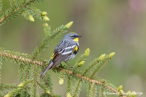 5426 Male Yellow-rumped Warbler (Setophaga coronata), Lac Le Jeune, BC