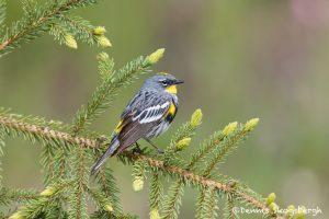 5426 Male Yellow-rumped Warbler (Setophaga coronata), Lac Le Jeune, BC