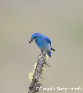 5429 Male Mountain Bluebird (Sialia-currucoides), Kamloops, BC