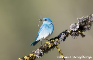5430 Male Mountain Bluebird (Sialia currucoides), Kamloops, BC