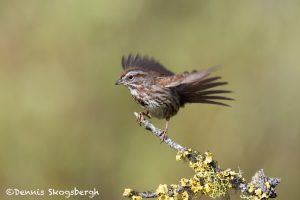 5433 Song Sparrow (Melospiza melodia), Lac Le Jeune, BC
