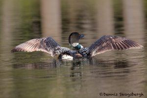 5437 Common Loon (Gavia immer), Lac Le Jeune, BC